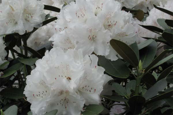 yakushimanum rhododendron sorten. Black Bedroom Furniture Sets. Home Design Ideas