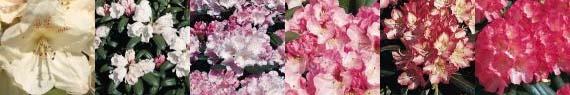 Rhododendron yakushimanum Sortiment